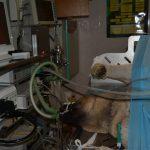 laparoskopická kastrace feny obřího plemene spojená s gastropexí
